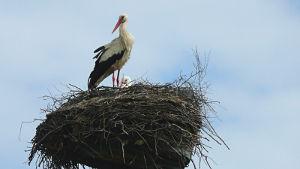 Storch auf Zudar